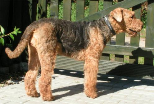 Airedale Terrier, hunderaser