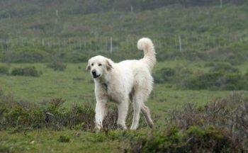 Akbash hund