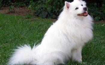 Amerikansk Eskimo hund