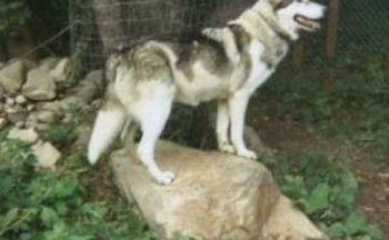 Amerikansk indianerhund