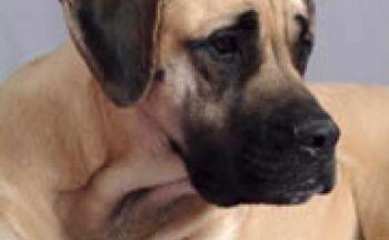 Amerikansk mastiff
