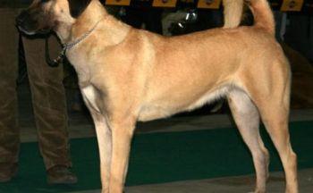 Antoliansk gjeterhund