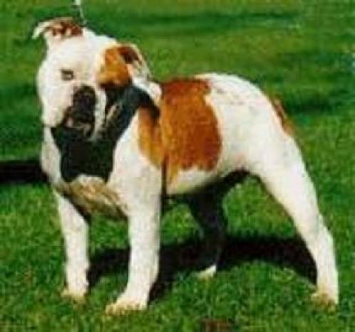 Australsk bulldog, hunder, hunderaser, australsk, bulldog