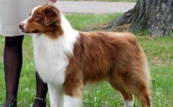 Australsk gjeterhund