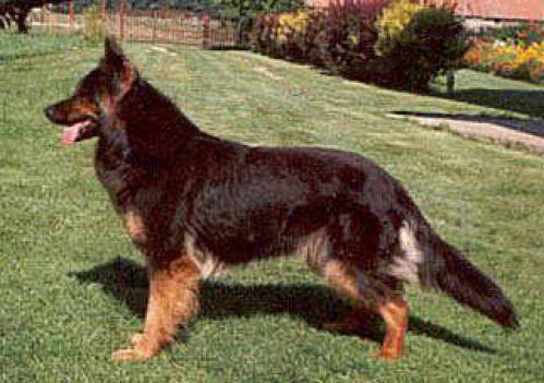 Bohemian Shepherd, rasehunder, bohemian, shepherd