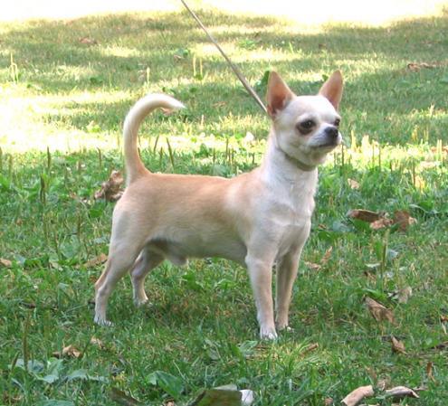 Chihuahua, hunderaser