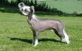 Chinese Crested hund