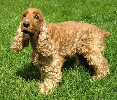 Engelsk Cocker Spaniel, rasehunder, hundeaser