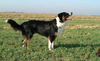 Engelsk gjeterhund