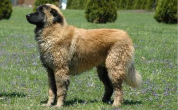 Estrela fjellhund