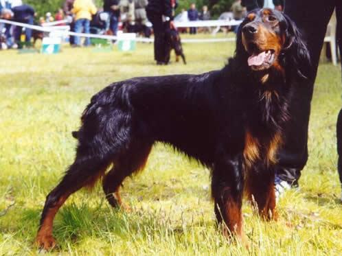 Gordon Setter, hunderaser