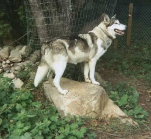 Indianerhund, hunderaser, rasehunder, indianerhund