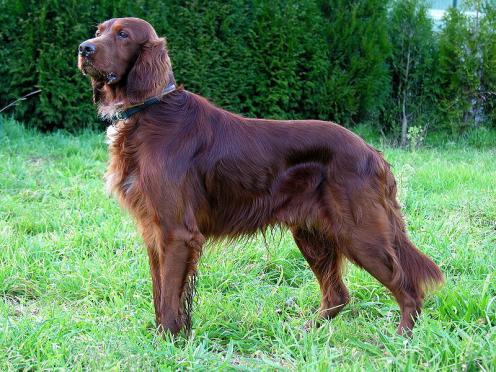 Irsk setter, hunderaser