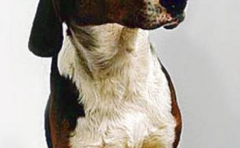 Jugoslavisk hund