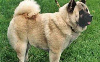 Kinesisk Foo hund
