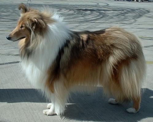 Langhåret collie, rasehunder, hundeaser, langhåret, collie