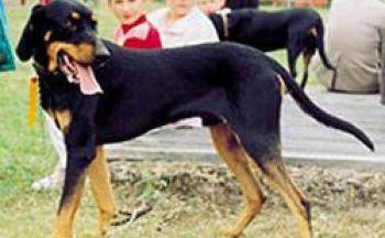 Lithuiansk hund
