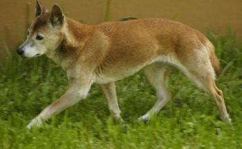 New Guinea syngehund