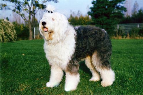 Old English Sheepdog, hunderaser, rasehunder, old, english, sheepdog