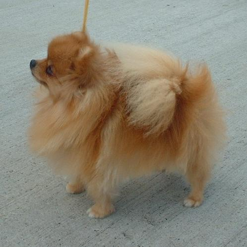 Pomeranian, hunder