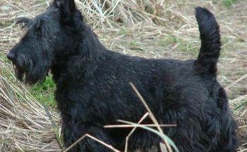 Skotsk terrier