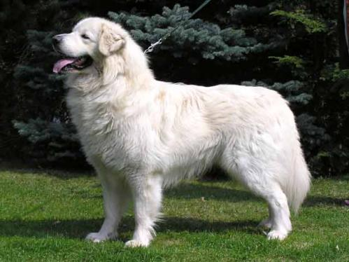 Slovakisk cuvac, rasehunder, hundeaser, slovakisk, cuvac