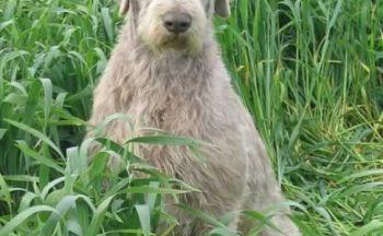 Slovakisk vorstehhund ruhåret