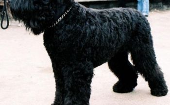 Svart russisk terrier