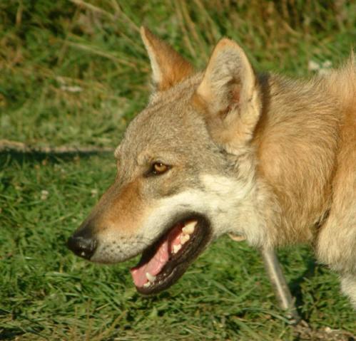 Tsjekkoslovakisk ulvehund, rasehunder, hundeaser