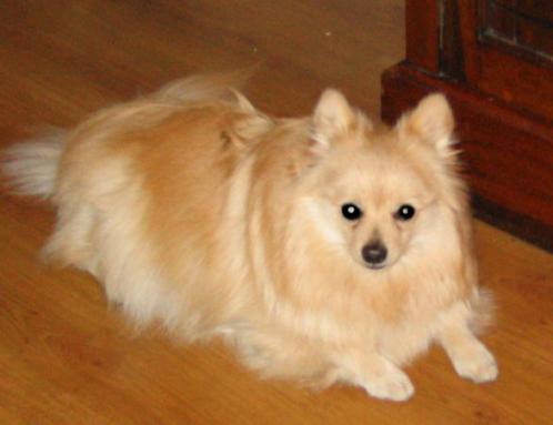 Tysk miniatyr spisshund, hunder