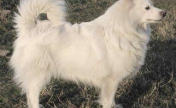 Tysk spisshund