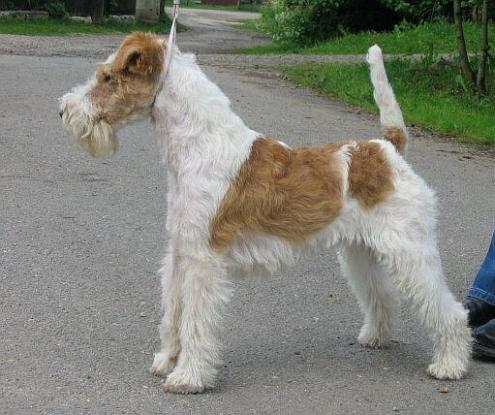 Wire Fox Terrier, hunderaser, wire, fox, terrier