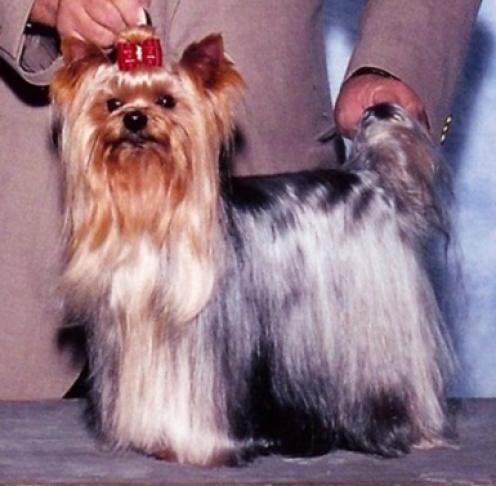 Yorkshire Terrier, hundeaser